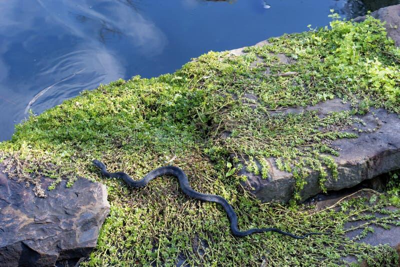 Serpente nero che striscia verso l'acqua immagine stock libera da diritti