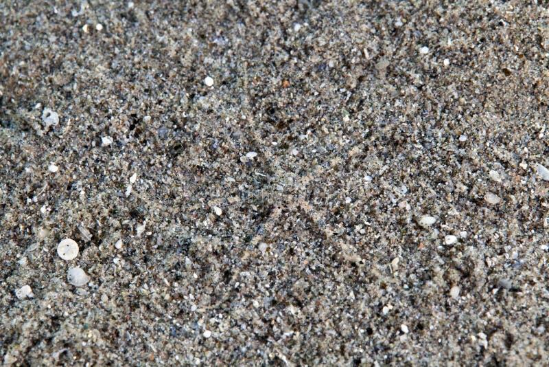 Serpente ou estrela frágil (cinza do ophiuroidea) fotos de stock royalty free