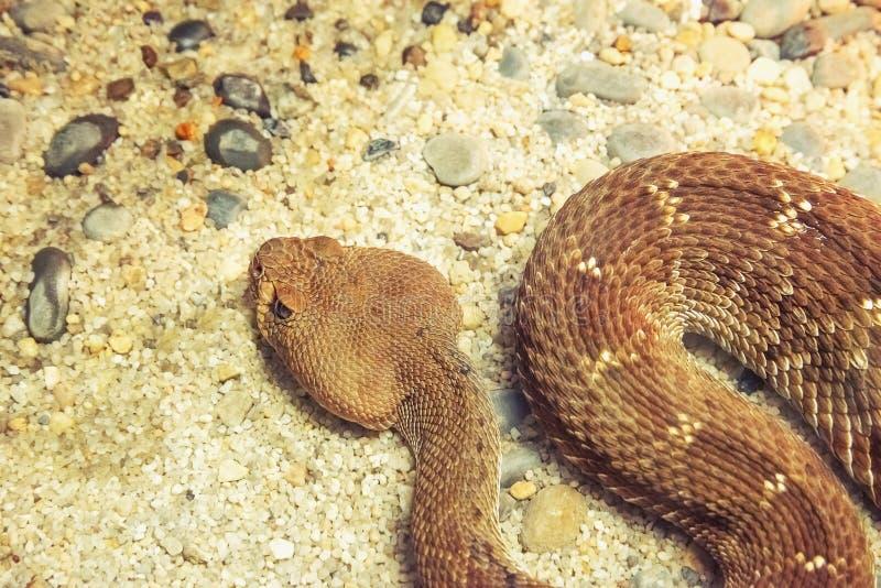 Serpente pericoloso di crepitio immagine stock