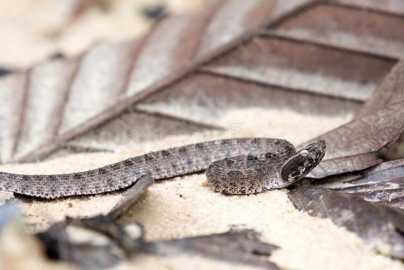 Serpente pericoloso malese di Pit Viper in Tailandia e Sud-est asiatico fotografie stock