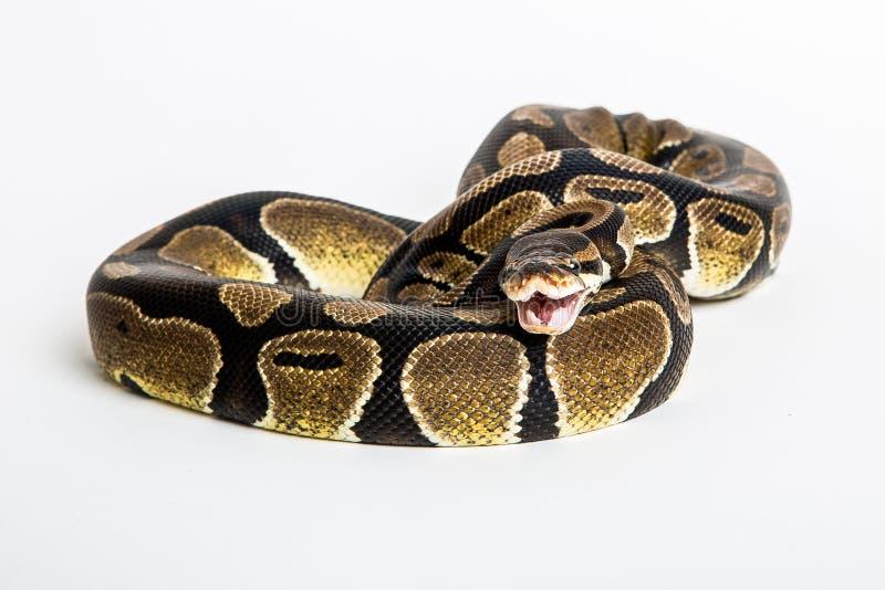 Serpente pitone reale immagine stock immagine di sfera - Serpente collegare i punti ...