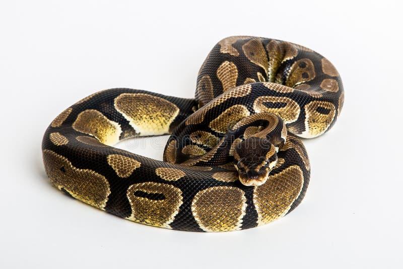 Serpente pitone reale fotografia stock immagine di - Serpente collegare i punti ...