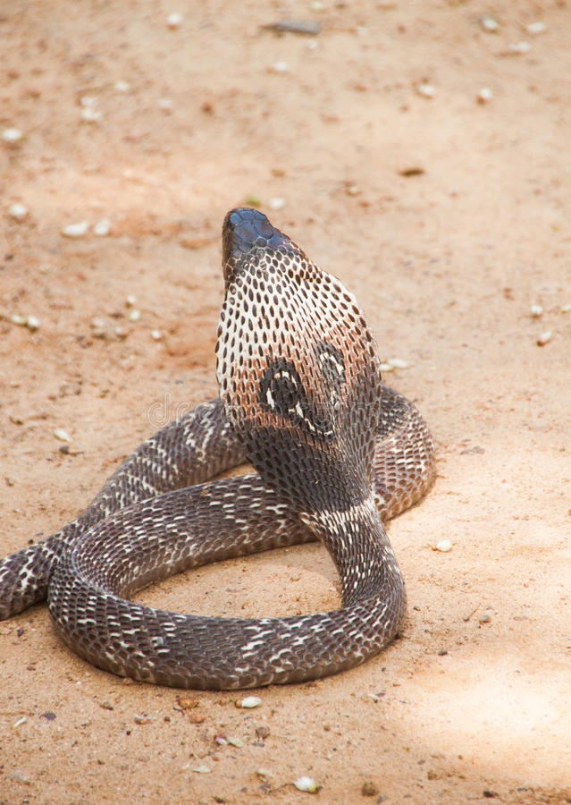 Serpente Sri Lanka da cobra fotos de stock royalty free