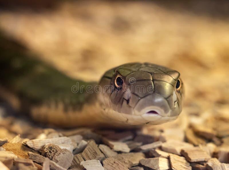 Serpente su roccia, cobra reale fotografia stock