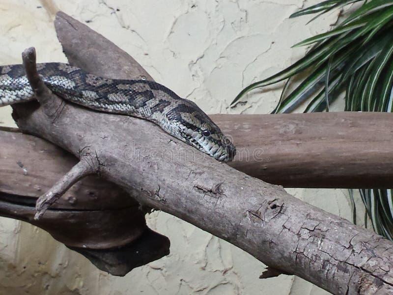 Serpente sul ramo 库存图片