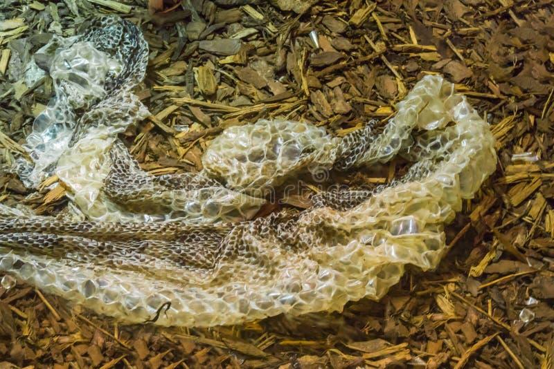 Serpente une vieille mue de peau d'un animal tropical muant de faune de reptile de serpent photos libres de droits