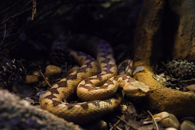 Serpente velenoso della vipera cornuta del deserto nello scuro fotografia stock