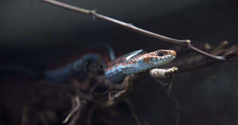 Serpente venenosa colorida imagens de stock royalty free