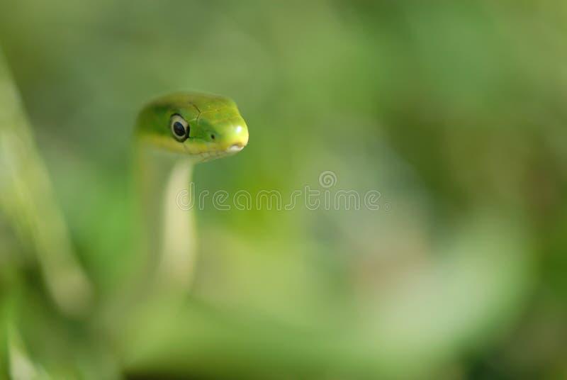 Serpente verde áspera fotos de stock