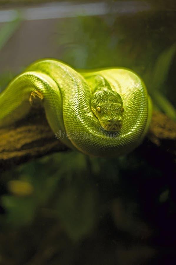 Serpente verde da árvore fotografia de stock