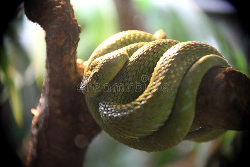 Serpente verde da árvore imagens de stock royalty free
