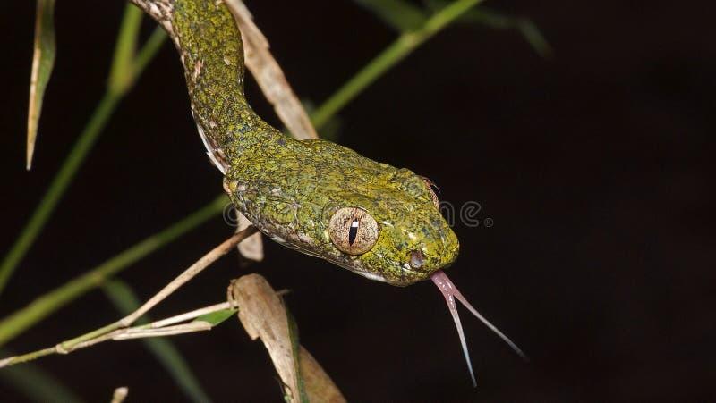 Serpente verde degli occhi di gatto fotografia stock