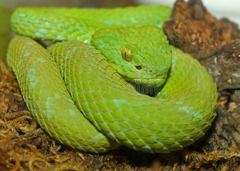Serpente verde della vipera dell'albero fotografia stock