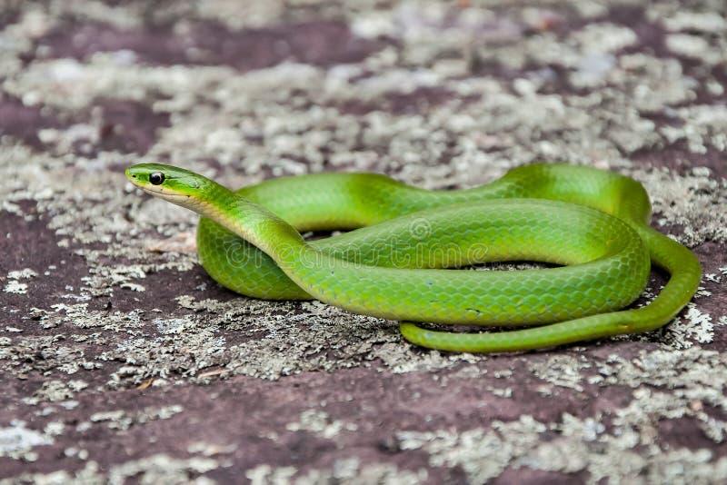 Serpente verde lisa foto de stock royalty free