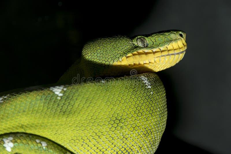 Serpente verde pronto per qualcosa affamato e sulla caccia, guardante fotografie stock libere da diritti