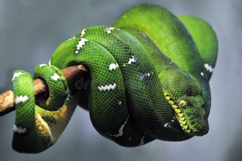 Serpente verde smeraldo del boa dell'albero fotografia stock