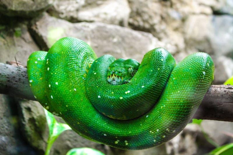 Serpente verde in un ramo di albero fotografie stock