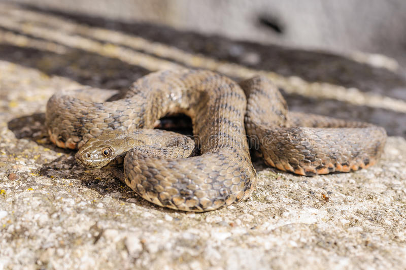 Serpente, vipera fotografie stock libere da diritti