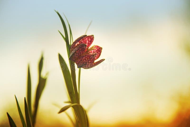 Serpenteie o meleagris do Fritillaria do fritillary da cabeça do ` s ou o daf chequered imagens de stock royalty free