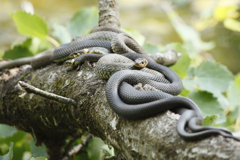 Serpentes foto de stock