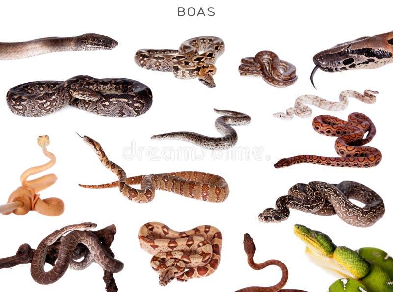 Serpentes da boa ajustadas no branco fotografia de stock