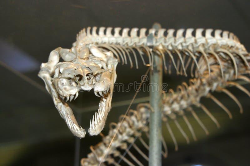 Download Serpentez le squelette photo stock. Image du musée, serpent - 733576