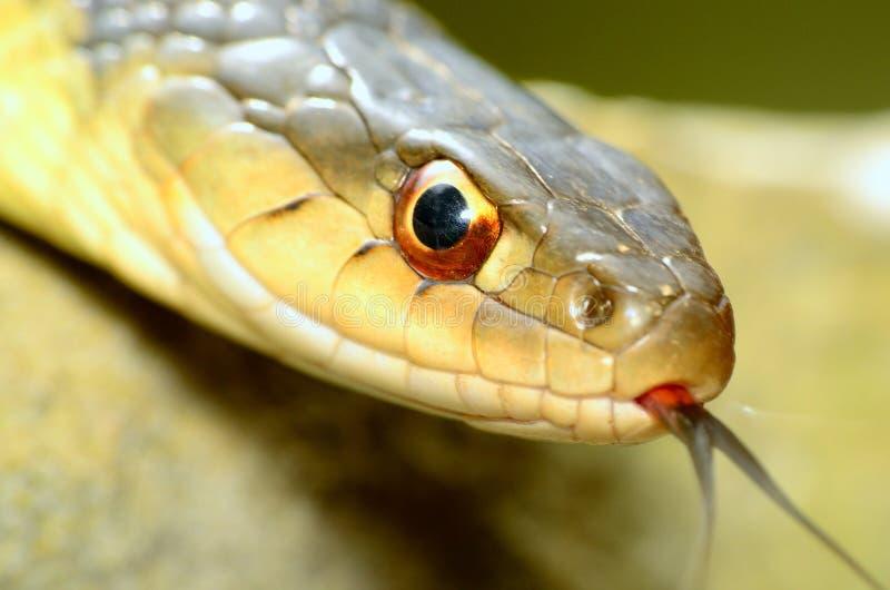 Serpenti di giarrettiera fotografia stock