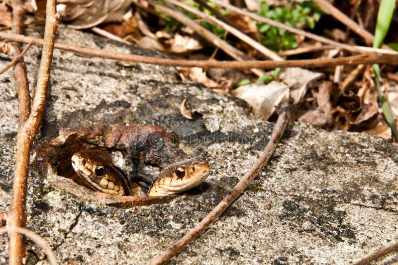 Serpenti di giarrettiera orientali fotografie stock libere da diritti