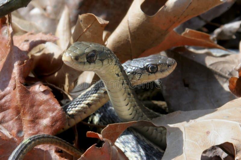 Serpenti di giarrettiera (sirtalis del Thamnophis) immagini stock