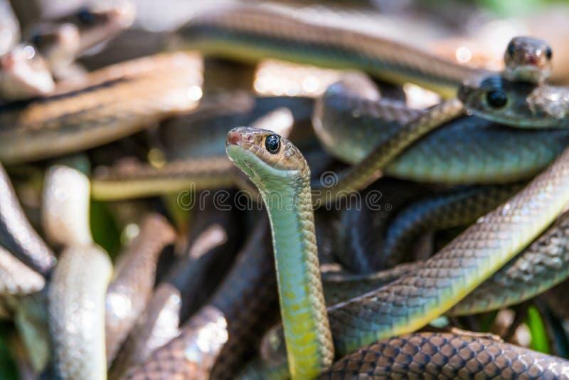 Serpenti di ratto orientali fotografia stock libera da diritti