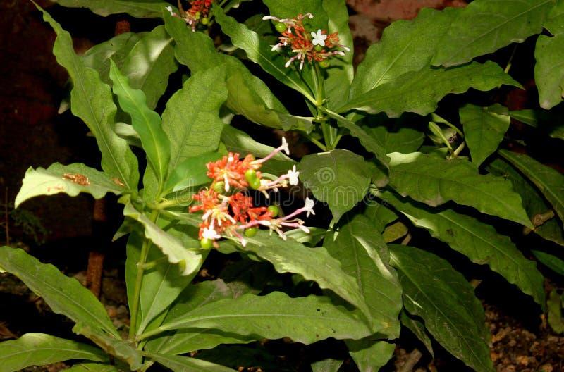 Serpentina Rauvolfia, индийское snakeroot, перец дьявола стоковые фото