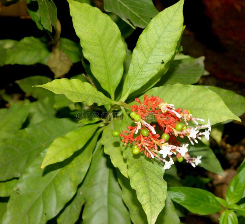 Serpentina Rauvolfia, индийское snakeroot, перец дьявола стоковое изображение rf