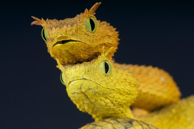 Serpents de buisson de cil/ceratophora d'Atheris photo stock