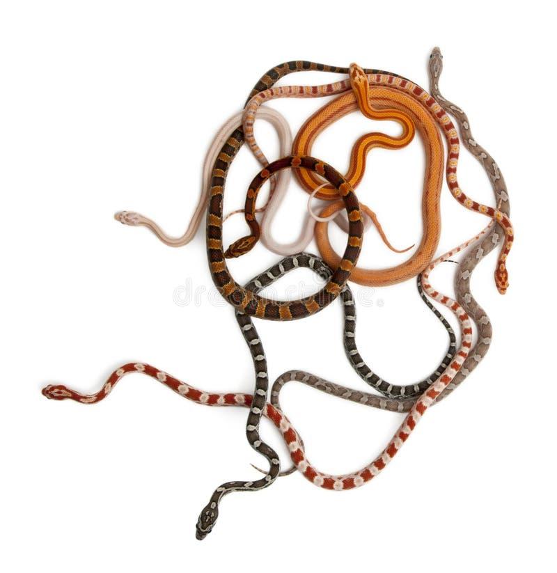 Serpents de maïs Scaleless, Pantherophis Guttatus images libres de droits