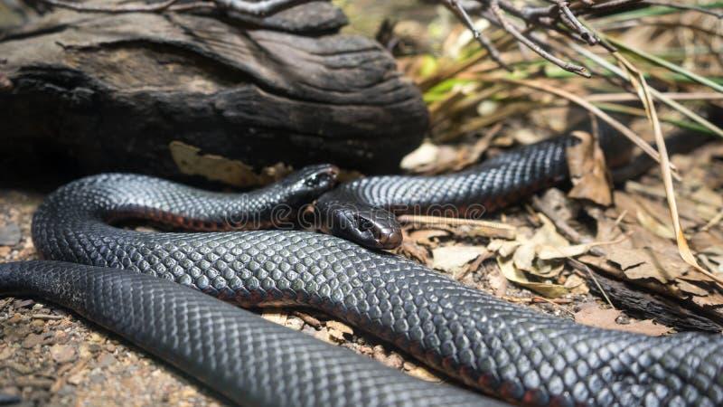 Serpents noirs gonflés par rouge photos libres de droits