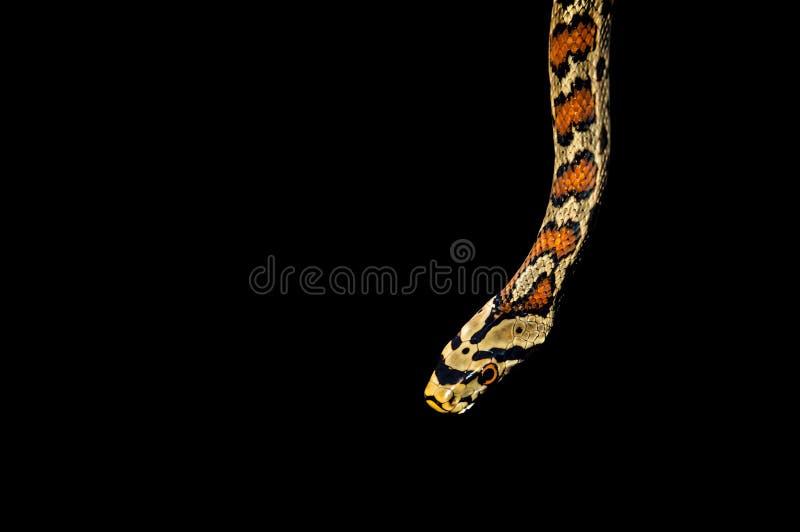 Serpiente aislada en fondo negro fotos de archivo libres de regalías