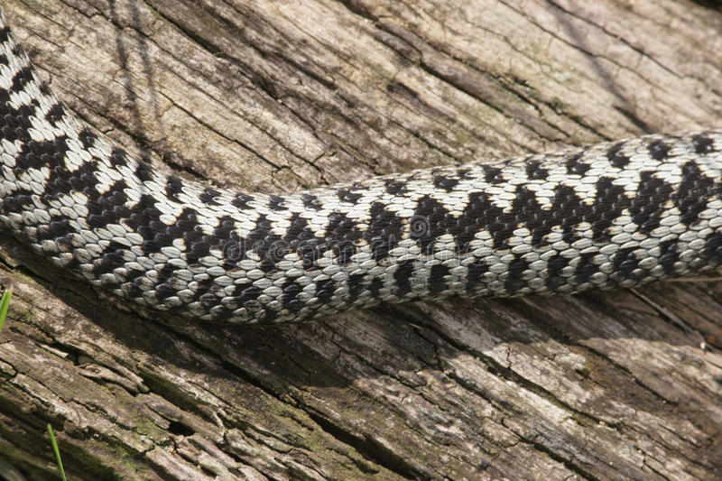 Serpiente, berus del Vipera foto de archivo