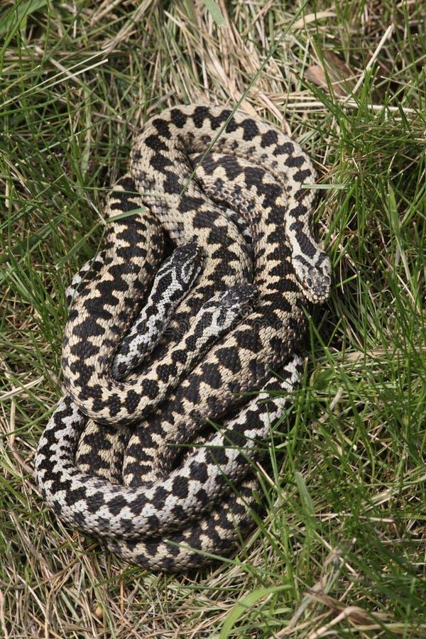 Serpiente, berus del Vipera imagenes de archivo
