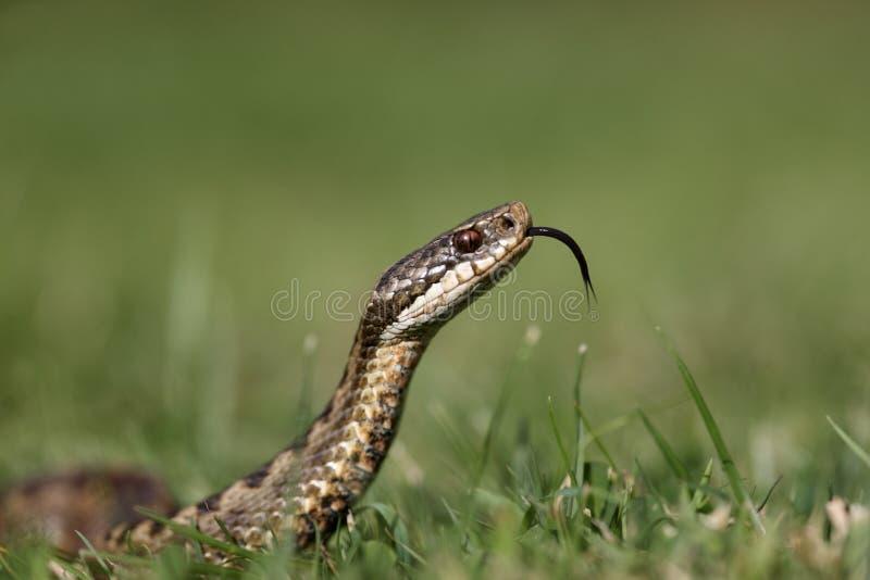 Serpiente, berus del Vipera imágenes de archivo libres de regalías