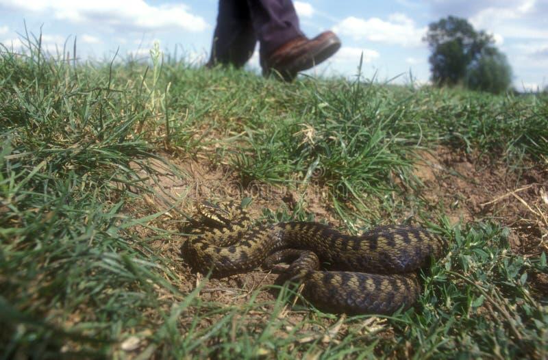 Serpiente, berus del Vipera, fotos de archivo libres de regalías