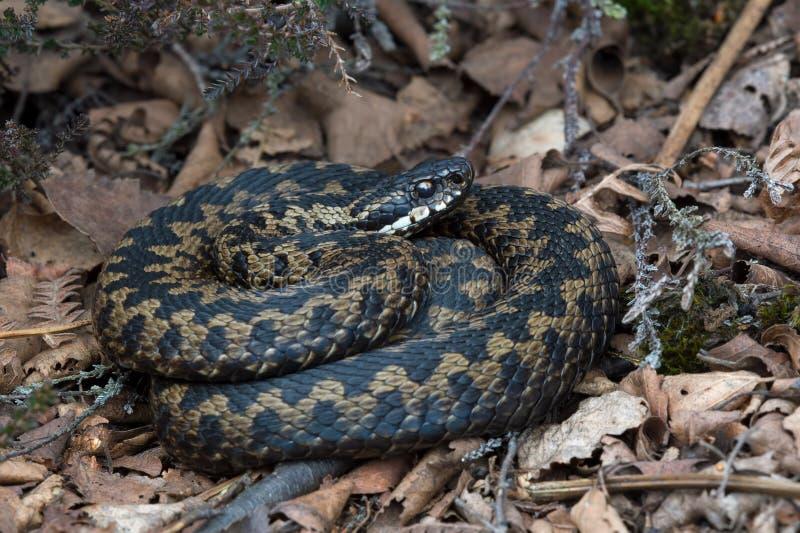 Serpiente (berus del Vipera) fotos de archivo libres de regalías