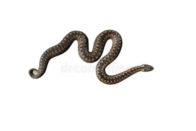 Serpiente, berus del Vipera fotos de archivo