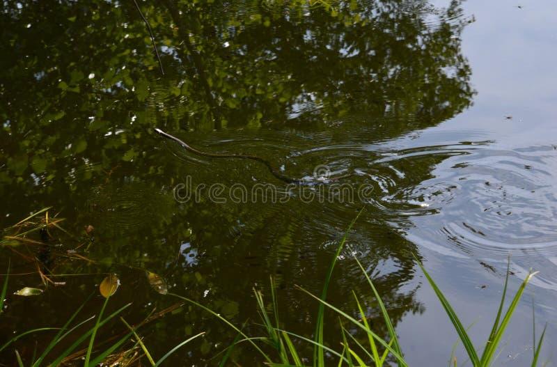 Serpiente de agua en el lago fotografía de archivo