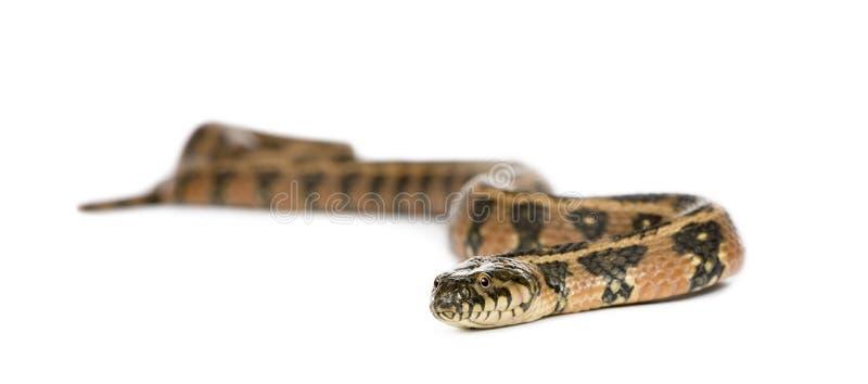Serpiente de azote verde contra el fondo blanco foto de archivo libre de regalías