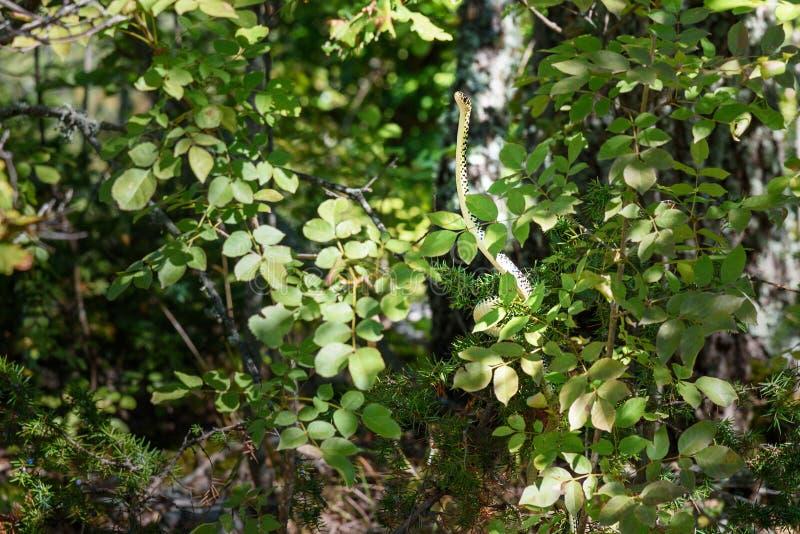 Serpiente de azote verde, viridiflavus de Hierophis en bosque en la región de Chianti Toscana Italia imágenes de archivo libres de regalías