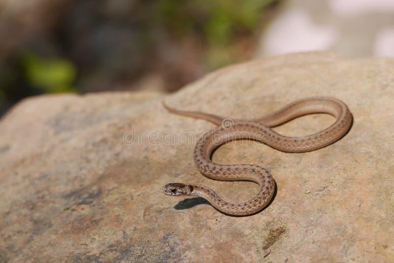 Serpiente de Brown - dekayi del Storeria - fotos de archivo libres de regalías