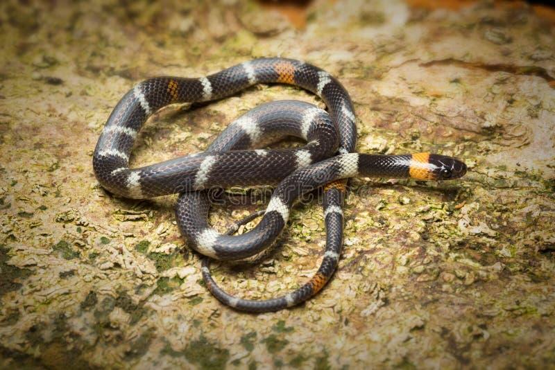 Serpiente de cabeza negra del calicó, Colombia, melanogenys de Oxyrhopus imagen de archivo