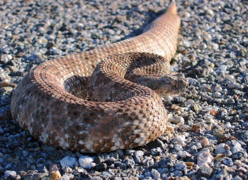Serpiente de cascabel fotos de archivo