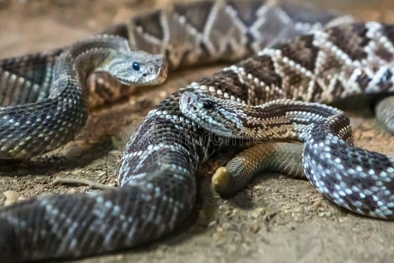 Serpiente de cascabel, atrox del Crotalus Diamondback occidental fotos de archivo libres de regalías