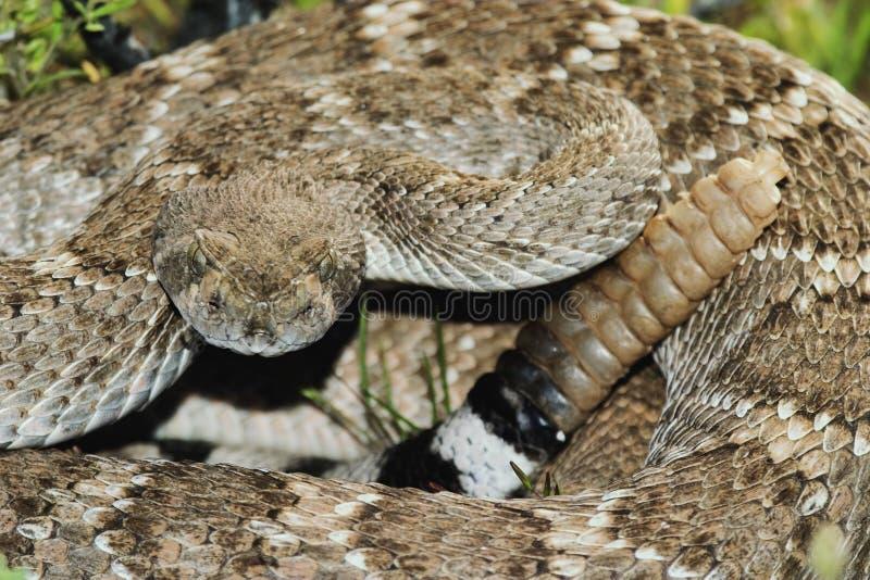 Serpiente de cascabel de Diamondback occidental imagenes de archivo